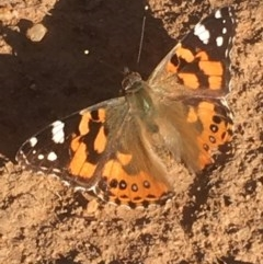 Vanessa kershawi (Australian Painted Lady) at Griffith Woodland - 13 May 2020 by AlexKirk