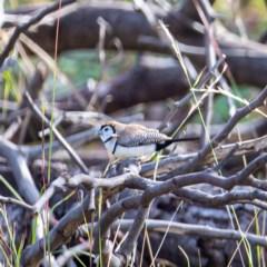 Taeniopygia bichenovii (Double-barred Finch) at Stromlo, ACT - 13 May 2020 by JohnHurrell