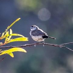 Taeniopygia bichenovii (Double-barred Finch) at Stromlo, ACT - 7 Apr 2019 by JohnHurrell