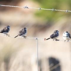 Taeniopygia bichenovii (Double-barred Finch) at Stromlo, ACT - 13 Jul 2019 by JohnHurrell