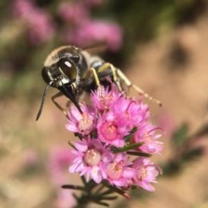 Bembix sp. (genus) at ANBG - 19 Nov 2018