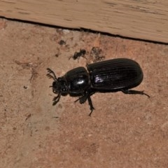 Aulacocyclus edentulus (Passalid beetle) at Black Range, NSW - 29 Dec 2019 by AndrewMcCutcheon