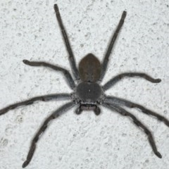 Isopeda sp. (genus) at Ainslie, ACT - 8 May 2020