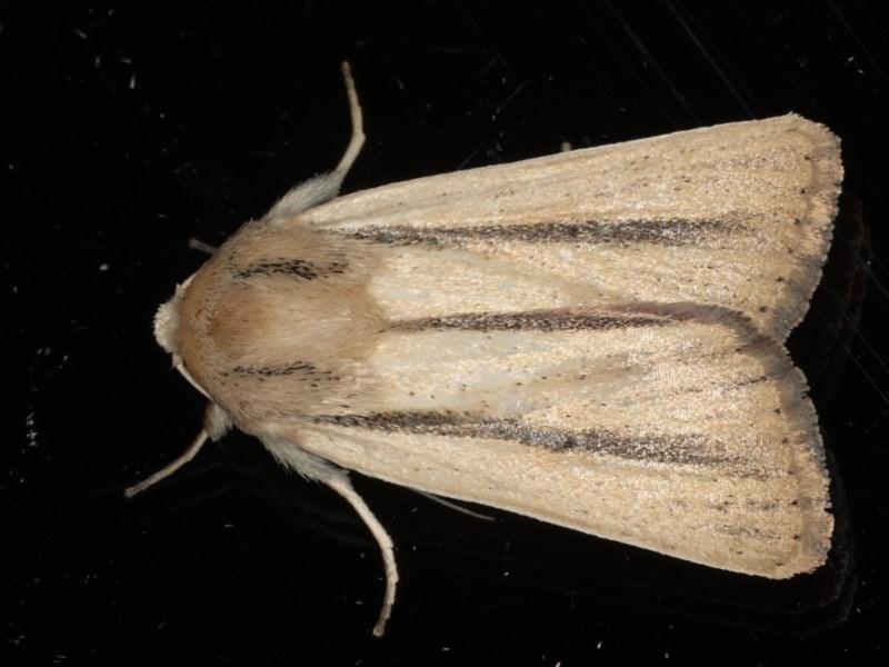 Leucania diatrecta at Ainslie, ACT - 8 May 2020