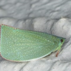Siphanta acuta (Green planthopper, Torpedo bug) at Ainslie, ACT - 8 May 2020 by jbromilow50