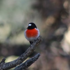 Petroica boodang (Scarlet Robin) at Red Hill Nature Reserve - 14 May 2020 by LisaH
