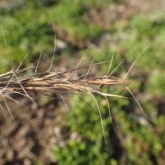 Aristida ramosa (Purple Wire Grass) at Kama - 14 May 2020 by RWPurdie