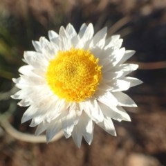 Leucochrysum albicans subsp. tricolor (Hoary Sunray) at Kama - 14 May 2020 by RWPurdie