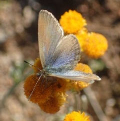 Zizina otis (Common Grass-blue) at Kama - 14 May 2020 by RWPurdie