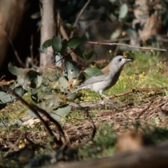 Colluricincla harmonica (Grey Shrikethrush) at Red Hill Nature Reserve - 14 May 2020 by Ct1000