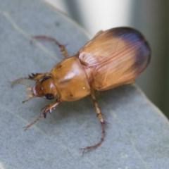 Phyllotocus macleayi (Nectar scarab) at Michelago, NSW - 16 Dec 2019 by Illilanga