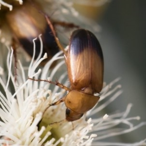 Phyllotocus macleayi at Michelago, NSW - 17 Dec 2019