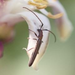 Syllitus microps at Michelago, NSW - 17 Dec 2019