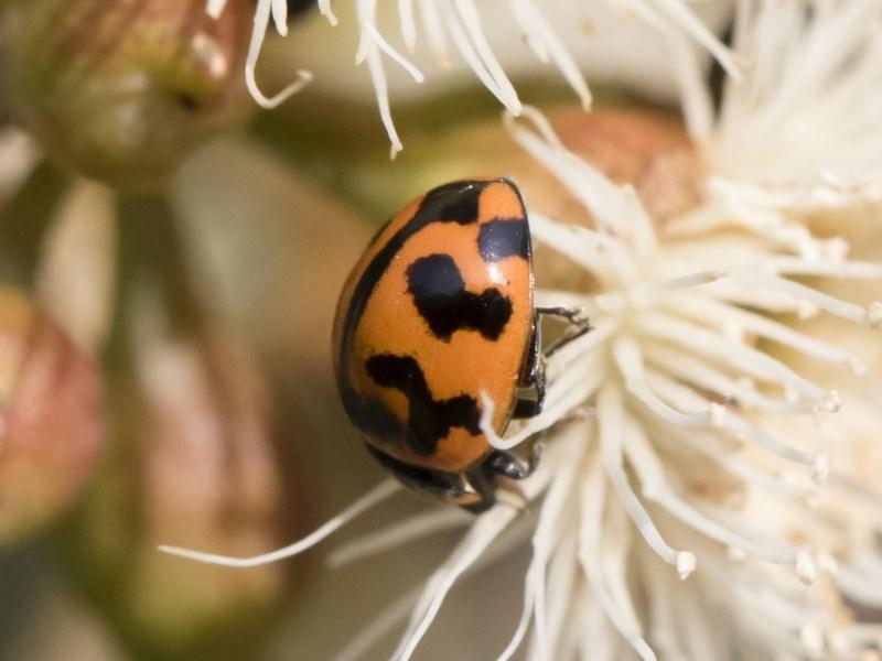 Coccinella transversalis at Michelago, NSW - 17 Dec 2019