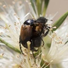 Phyllotocus navicularis (Nectar scarab) at Michelago, NSW - 23 Dec 2018 by Illilanga
