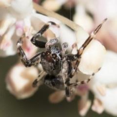 Helpis minitabunda (Jumping spider) at Illilanga & Baroona - 28 Oct 2018 by Illilanga