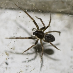 Badumna sp. (genus) at Illilanga & Baroona - 2 Oct 2018
