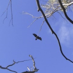Aquila audax (Wedge-tailed Eagle) at Illilanga & Baroona - 30 Jan 2010 by Illilanga