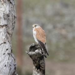 Falco cenchroides (Nankeen Kestrel) at Michelago, NSW - 4 Oct 2019 by Illilanga