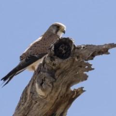 Falco cenchroides (Nankeen Kestrel) at Michelago, NSW - 6 Oct 2019 by Illilanga