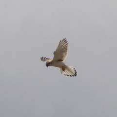 Falco cenchroides (Nankeen Kestrel) at Illilanga & Baroona - 7 Nov 2011 by Illilanga