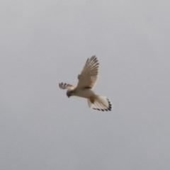 Falco cenchroides (Nankeen Kestrel) at Illilanga & Baroona - 7 Nov 2011 by Illilanga