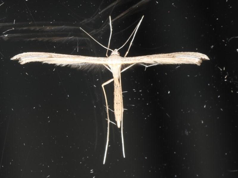 Stenoptilla zophodactylus at Ainslie, ACT - 14 May 2020