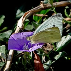 Pieris rapae (Cabbage White) at Brogo, NSW - 13 May 2020 by MaxCampbell