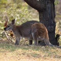 Macropus rufogriseus (Red-necked Wallaby) at Black Range, NSW - 29 Nov 2019 by AndrewMcCutcheon