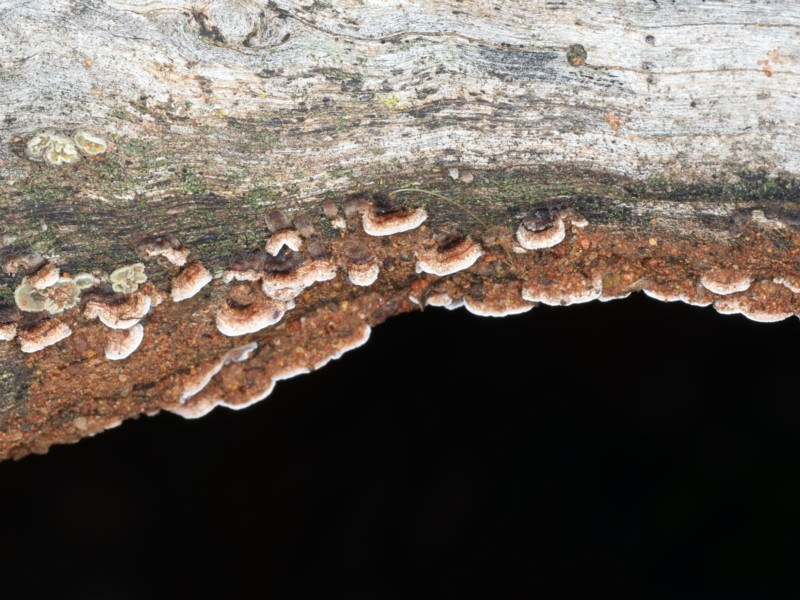 Xylobolus illudens at Ainslie, ACT - 10 Apr 2020