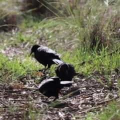 Corcorax melanorhamphos (White-winged Chough) at Aranda Bushland - 12 May 2020 by Tammy