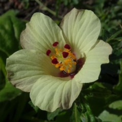 Hibiscus richardsonii (Flower-of-an-Hour) at Malua Bay, NSW - 15 May 2020 by JackieMiles
