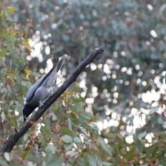 Coracina novaehollandiae (Black-faced Cuckooshrike) at Greenleigh, NSW - 16 May 2020 by LyndalT