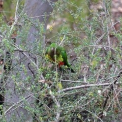 Alisterus scapularis (Australian King-Parrot) at Greenleigh, NSW - 16 May 2020 by LyndalT