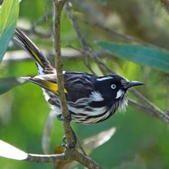 Phylidonyris novaehollandiae (New Holland Honeyeater) at Brogo, NSW - 14 May 2020 by MaxCampbell