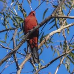 Alisterus scapularis (Australian King-Parrot) at Australian National University - 13 May 2020 by Alison Milton
