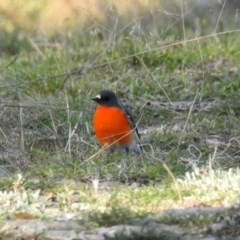 Petroica phoenicea (Flame Robin) at Googong Foreshore - 15 May 2020 by RodDeb