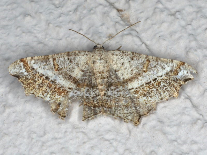 Dissomorphia australiaria at Ainslie, ACT - 29 Nov 2019
