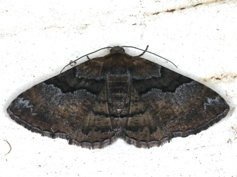 Aporoctena (genus) at Ainslie, ACT - 29 Nov 2019