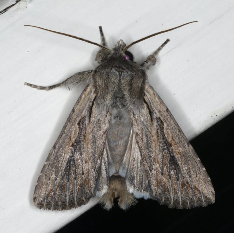 Persectania ewingii at Ainslie, ACT - 29 Nov 2019