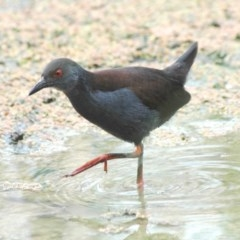 Zapornia tabuensis (Spotless Crake) at Jerrabomberra Wetlands - 14 Jan 2006 by Harrisi
