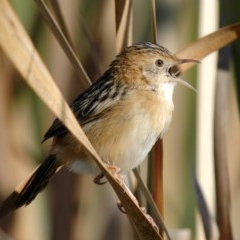 Cisticola exilis (Golden-headed Cisticola) at Jerrabomberra Wetlands - 31 May 2005 by Harrisi