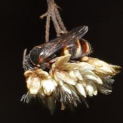 Bembecinus sp. (genus) (A sand wasp) at ANBG - 3 Mar 2020 by TimL