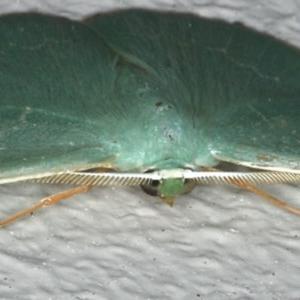 Prasinocyma semicrocea at Ainslie, ACT - 29 Nov 2019