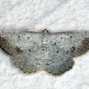 Taxeotis intextata at Ainslie, ACT - 29 Nov 2019