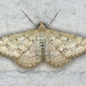 Scopula rubraria at Ainslie, ACT - 29 Nov 2019