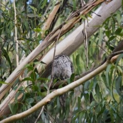 Podargus strigoides (Tawny Frogmouth) at - 17 May 2020 by pdmantis