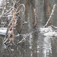 Chenonetta jubata (Australian Wood Duck) at Cooleman Ridge - 16 May 2020 by HelenCross