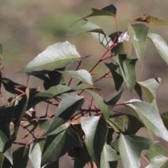 Brachychiton populneus subsp. populneus (Kurrajong) at Mount Painter - 14 May 2020 by AlisonMilton