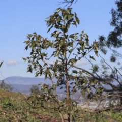 Brachychiton populneus subsp. populneus (Kurrajong) at Mount Painter - 15 May 2020 by AlisonMilton